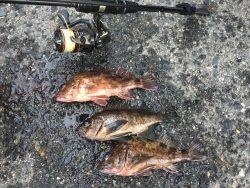 初釣りはメバル、ガシラでスタート