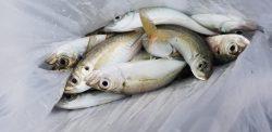アジング 辰ヶ浜の漁